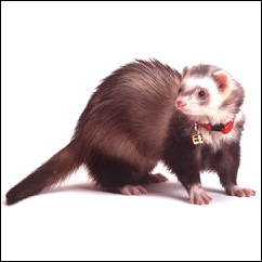 Collier Marshall pour furet